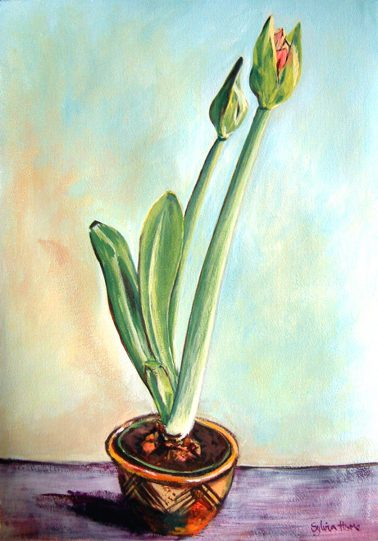 Amaryllis in Pot